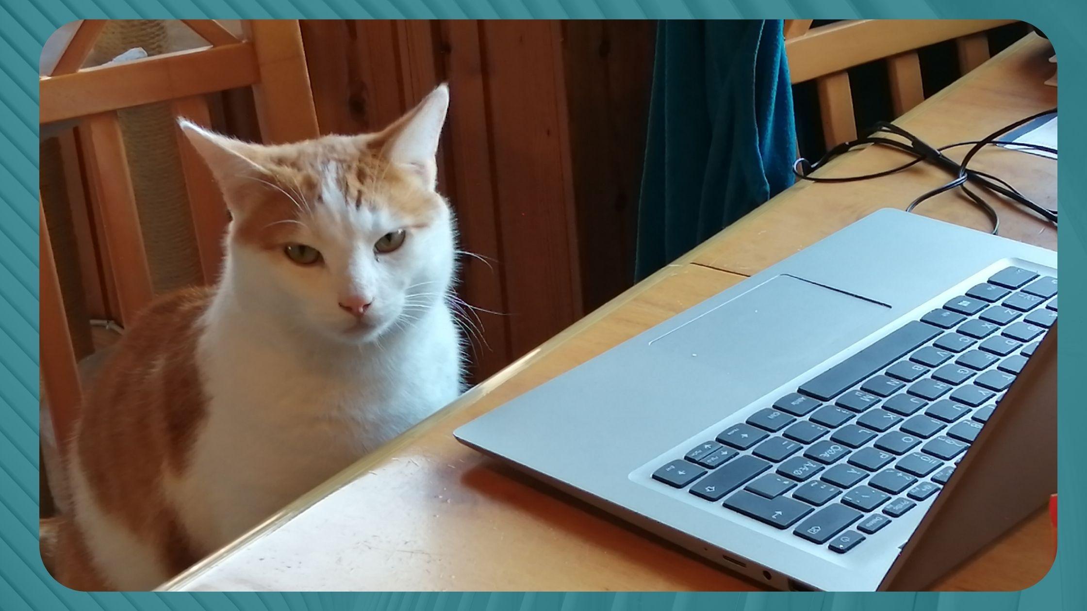 Kissa tietokoneen äärellä.